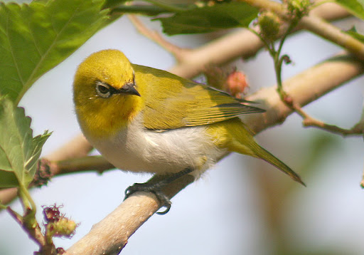 Burung Pleci (Kaca Mata) atau Oriental White Eye